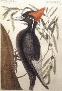 Catesby Mark Largest White Billed Woodpecker oil painting artist